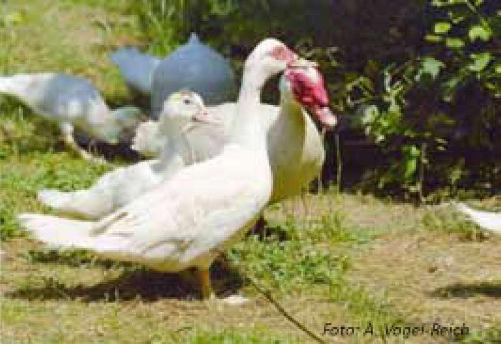 Barbarie Ente Haltung